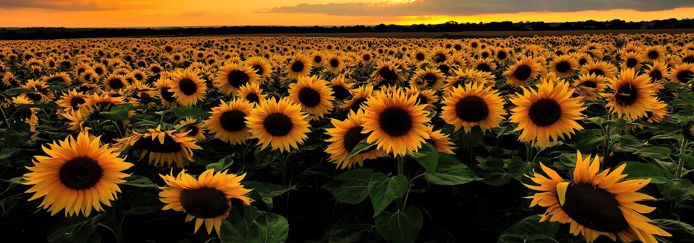 sunflower-category.jpg