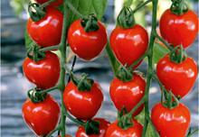 Tomatoberry Garden F1
