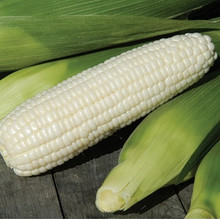 Xtra Tender 3473 F1 Sweet Corn