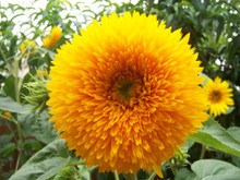 Sungold Tall