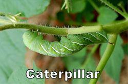 caterpillar250.jpg
