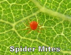 spidermite250.jpg