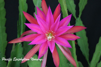 Oriental Dancer (Rooted Epiphyllum Plant)