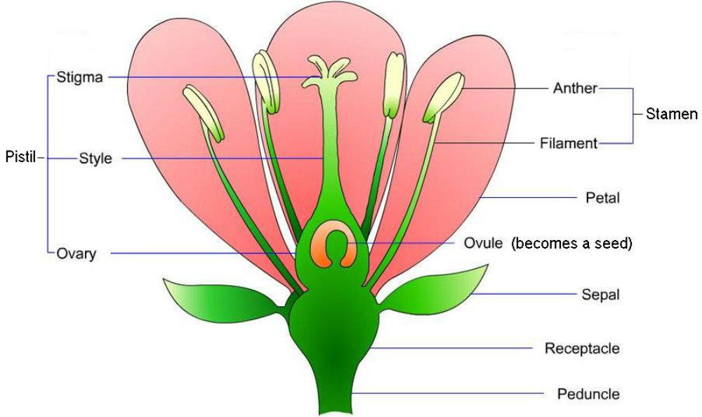 flower-parts-pt.jpg