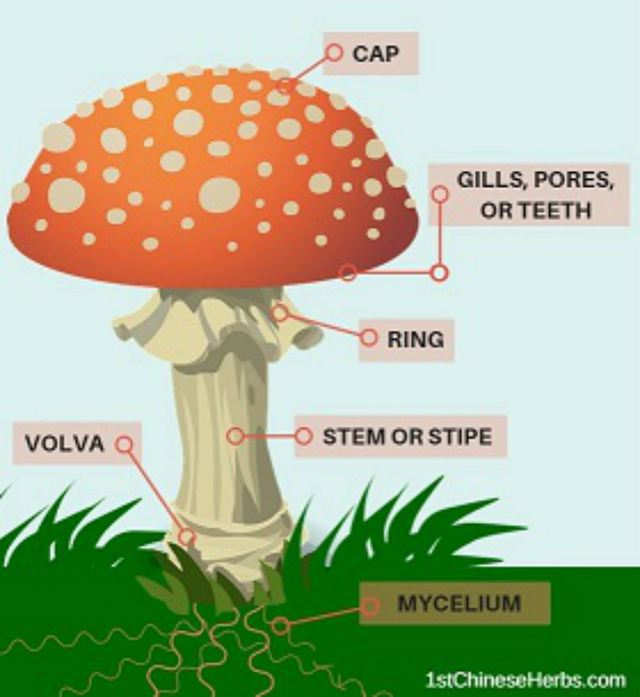 Parts Of Mushrooms