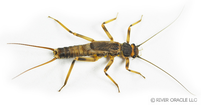 How did the stonefly cross the lake? The mystery of stoneflies ...