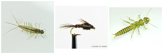 pheasant-tail-nymph-crossover-fly-pattern.jpg