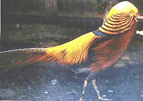 golden-pheasant.jpg