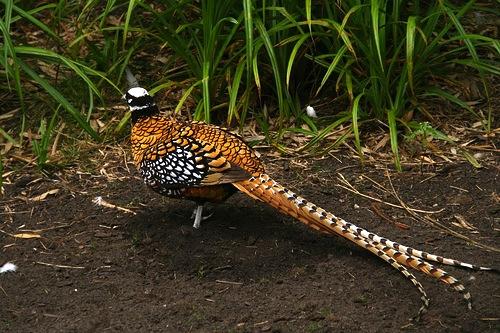reeves-venery-pheasant.jpg