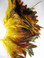 ROOSTER FEATHER SCHLAPPEN, half bronze,  dyed YELLOW, per FOOT