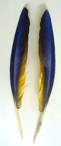 WING QUILL FEATHERS, macaw, large - per pair