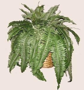 one 24 inch by 30 inch artificial boston fern bush in a basket
