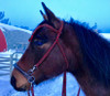 """Ruchi Color Red/Green """"C"""" with Felix sidepull noseband"""