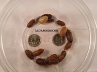 "Dubia Roaches 3/8"" to 1"""