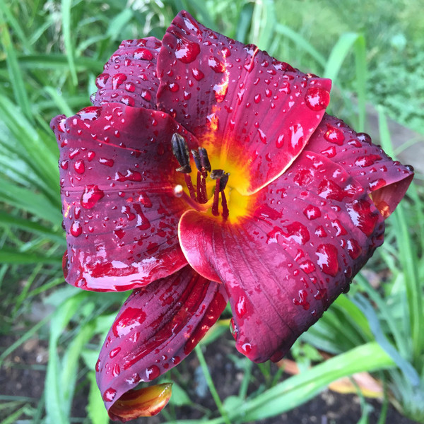 African Chant Daylily