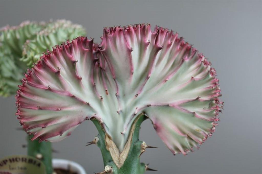 Dragon Bones Cactus