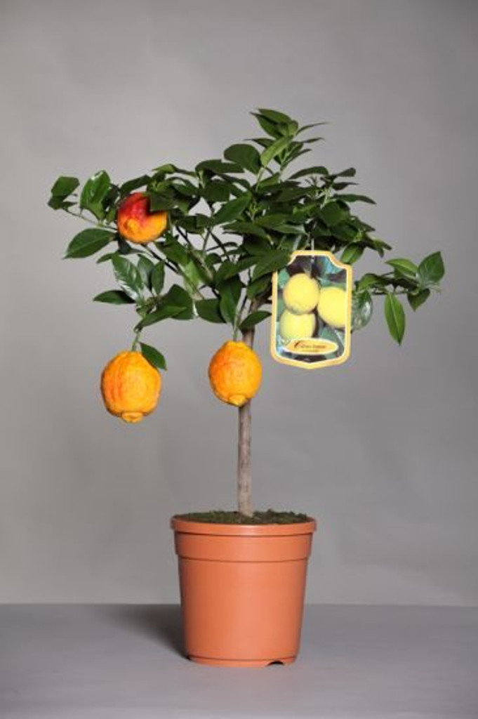 Blood Lime tree