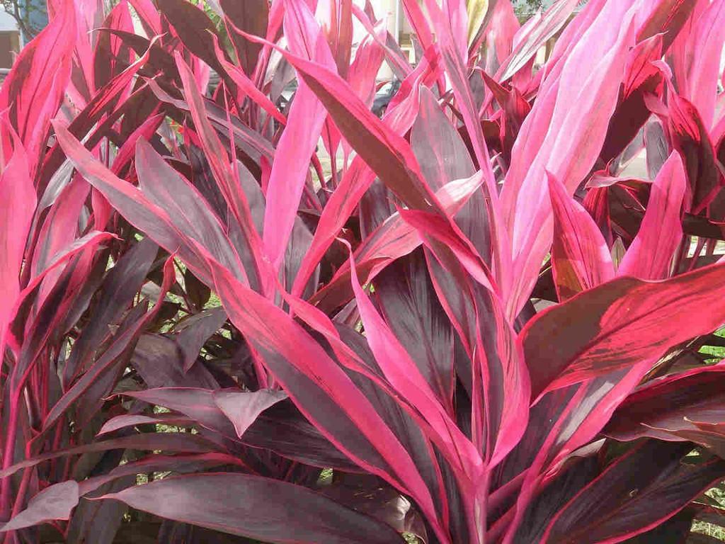 colourful foliage palm