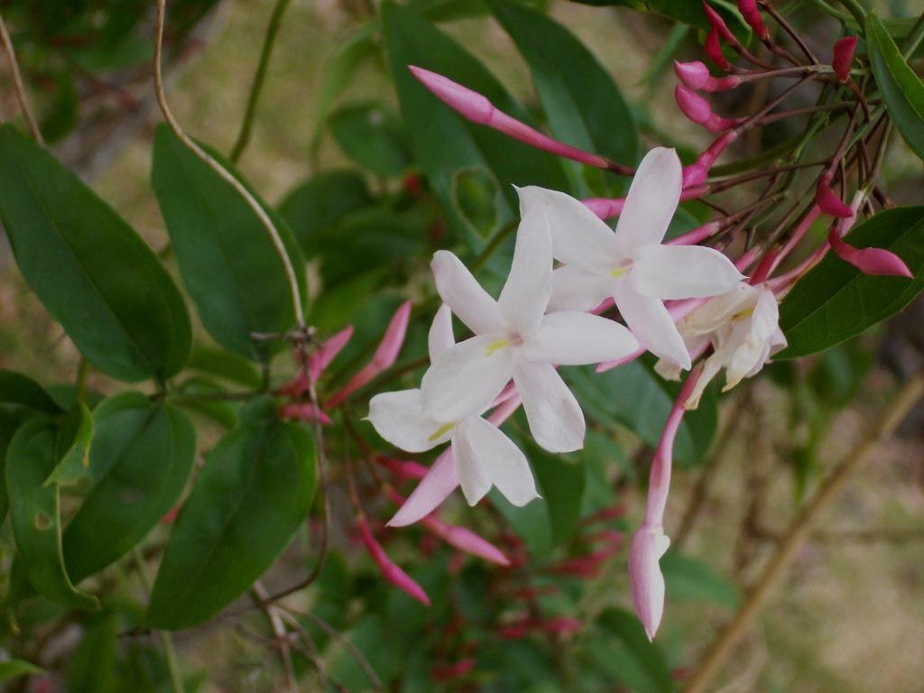Pink Flower jasmine