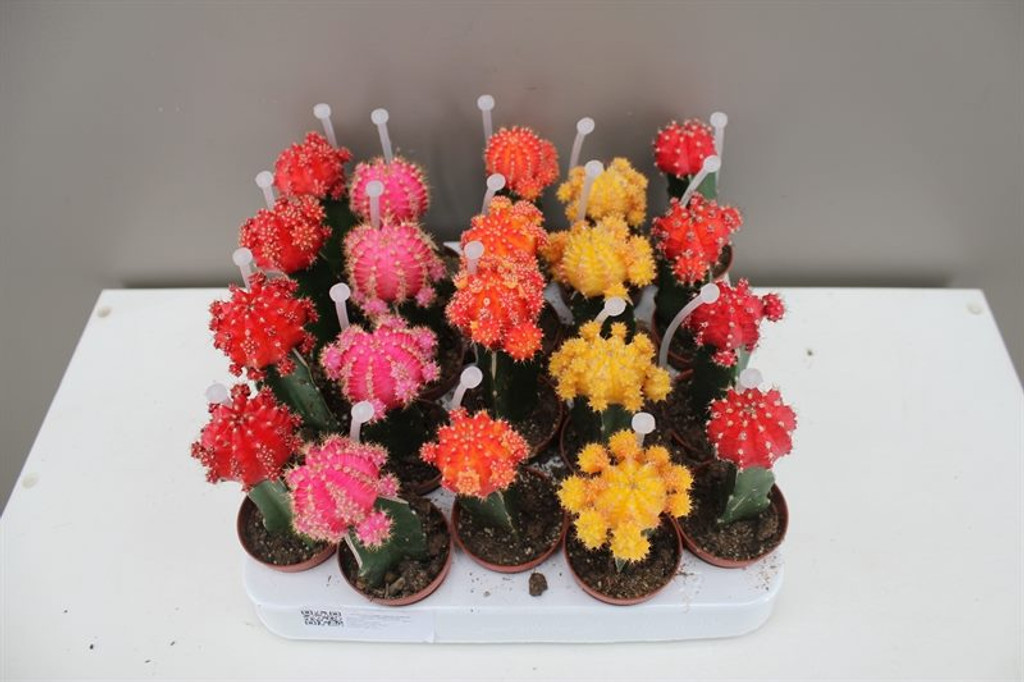 Grafted Chin Cactus