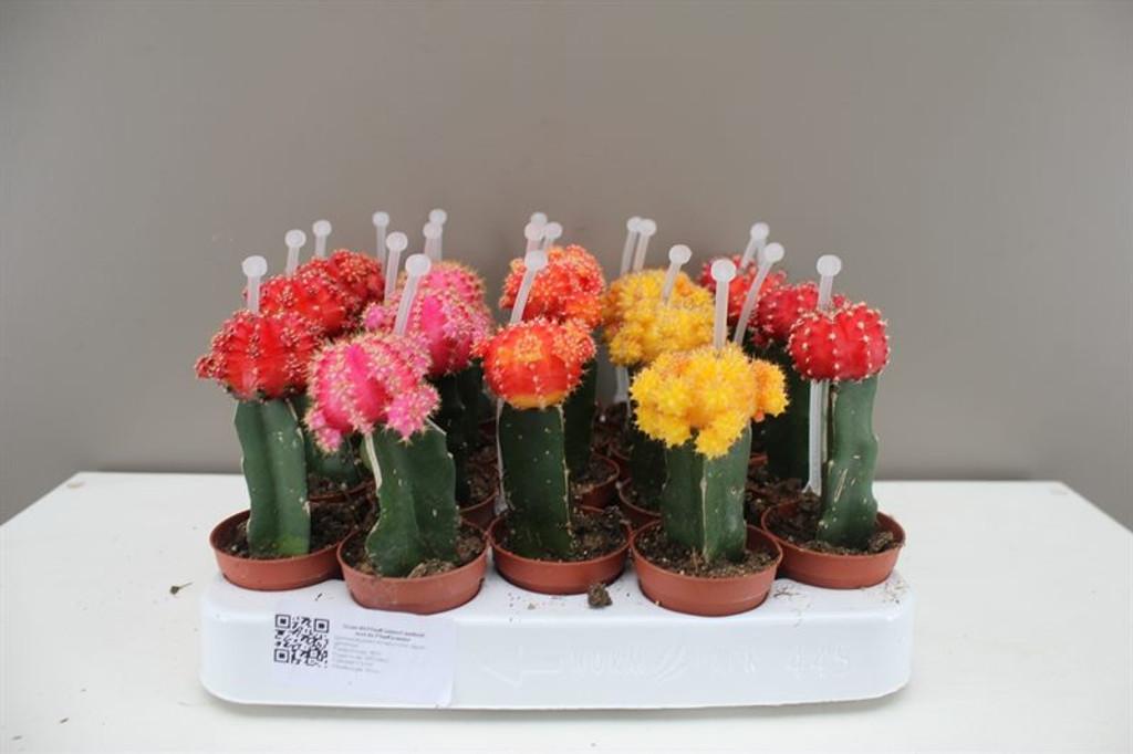 Coloured Chin Cactus