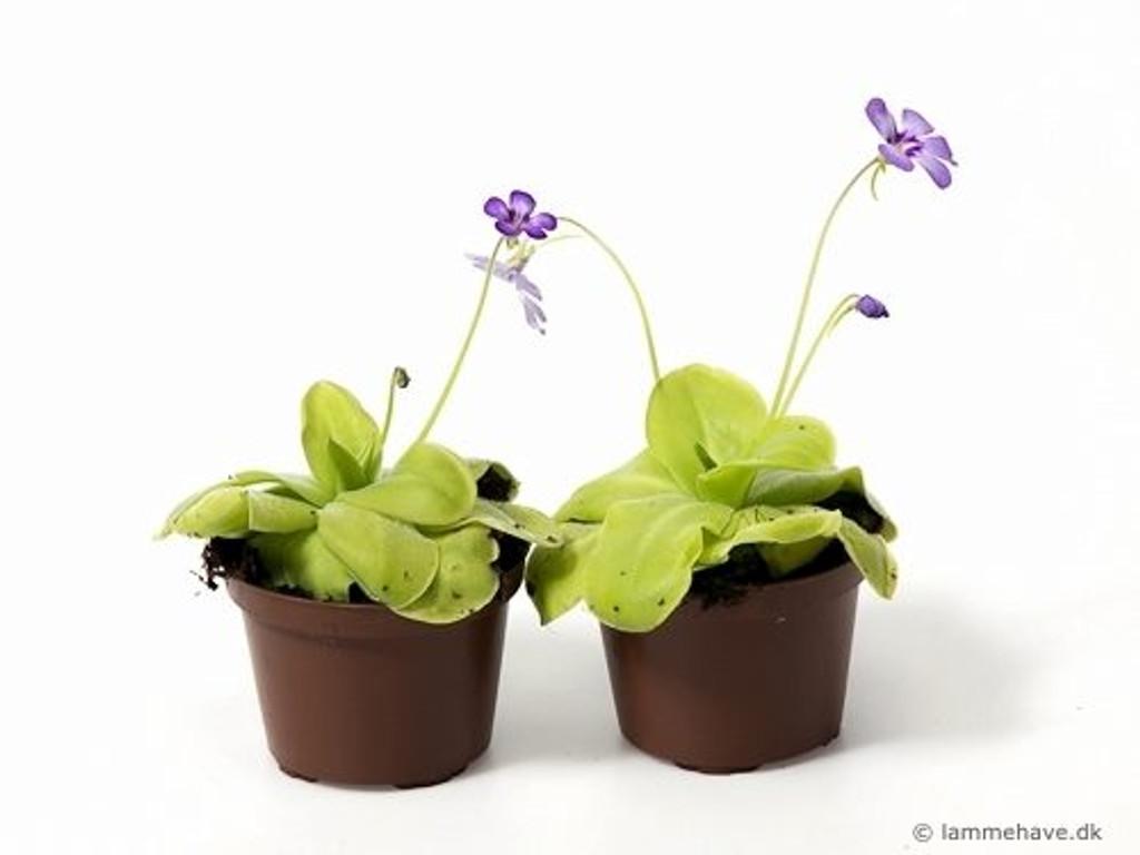 Butterwort- Pinguicula Weser carnivorous plant
