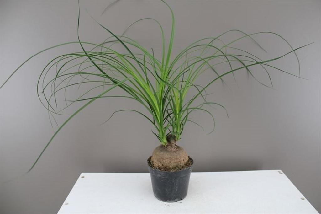 Ponytail Palm Ballshaped