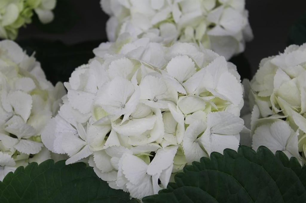 White French Hydrangea