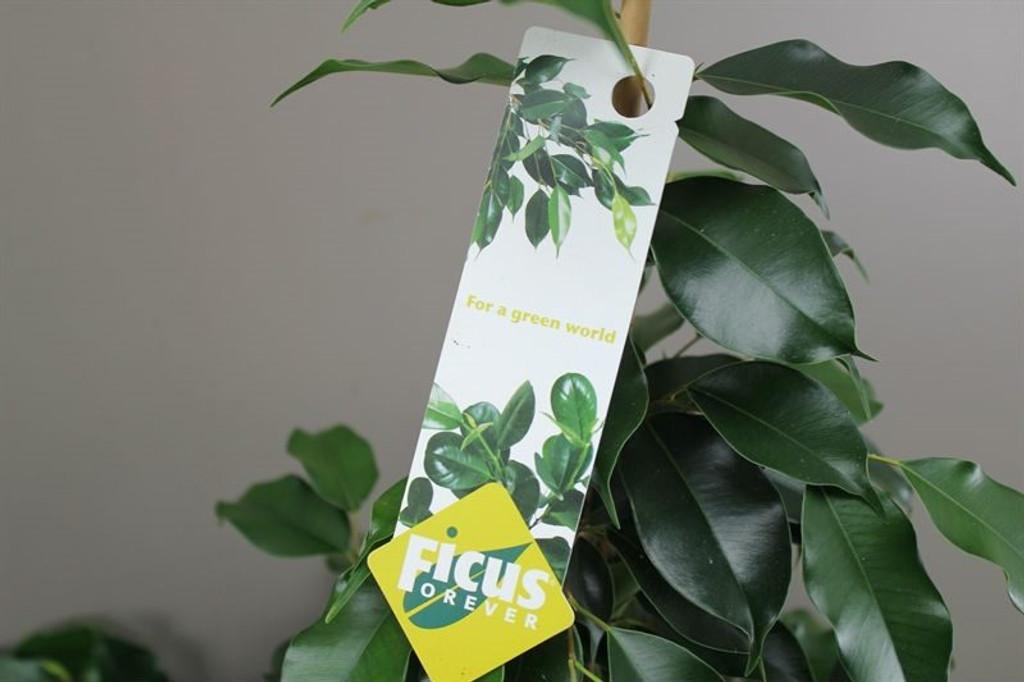 Ficus Fig Tree