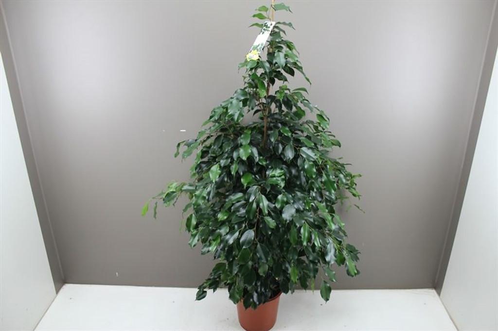 Indoor Large Fig