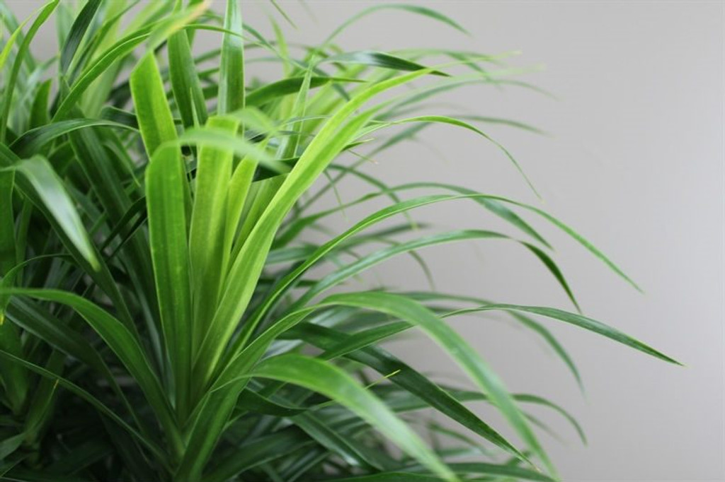 Branched Dracaena