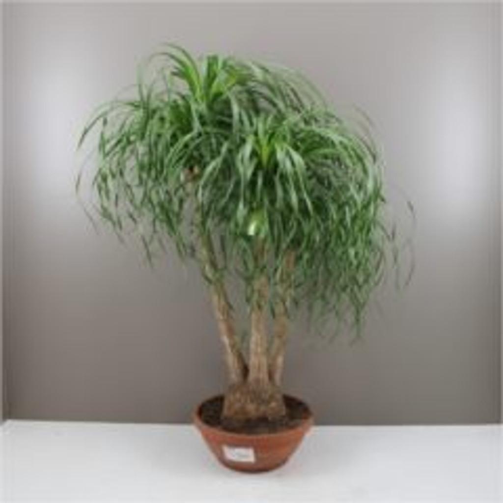 150cm ponytail palm
