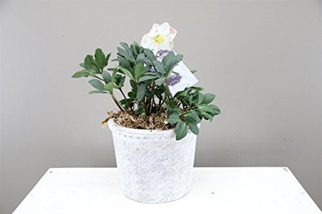 "Luxury ""Christmas Rose"" Gift - Potted plant with Pot  - Lenten Rose - Helleborus Christmas Carol. (Large Concrete)"