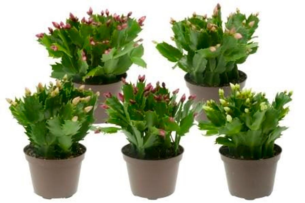 Christmas Cactus Hybrid