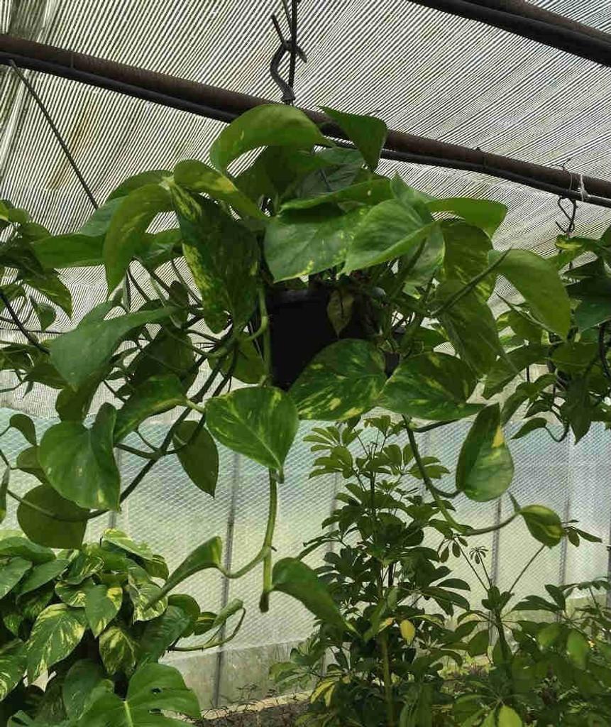 Scindapsus Hanging