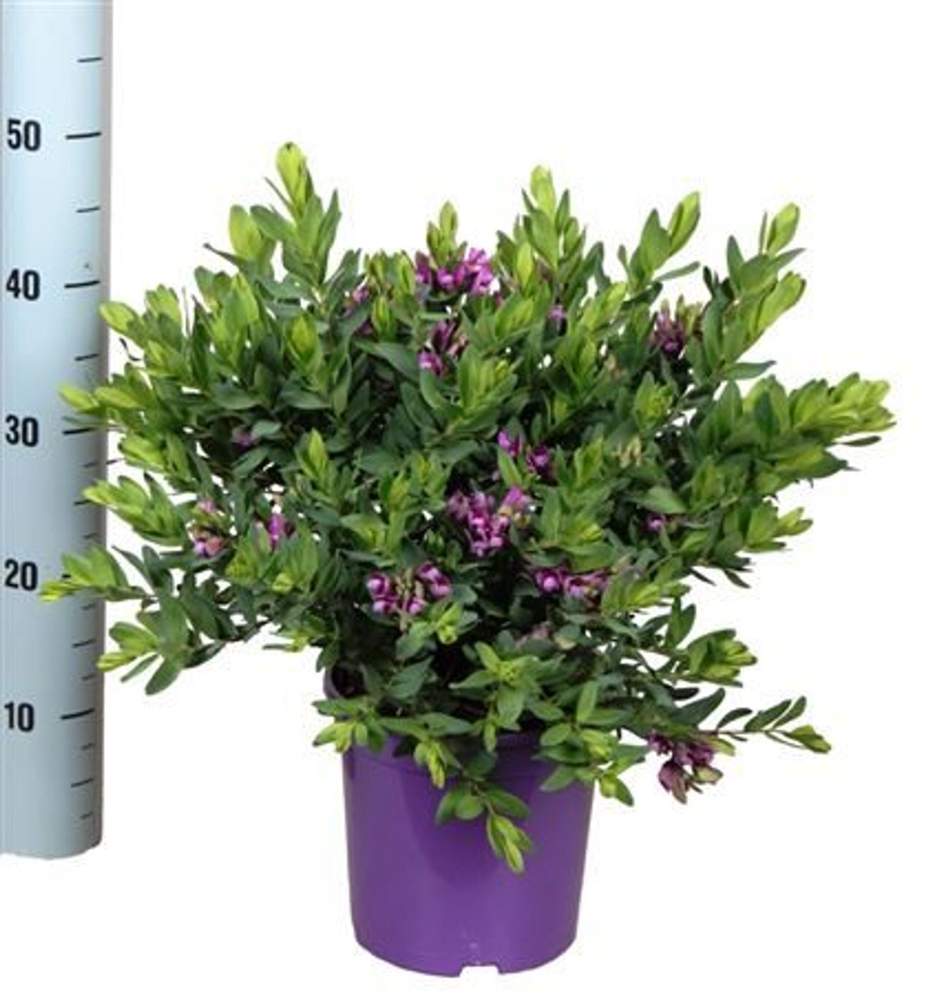 Large Sweet Pea' bush - Polygala