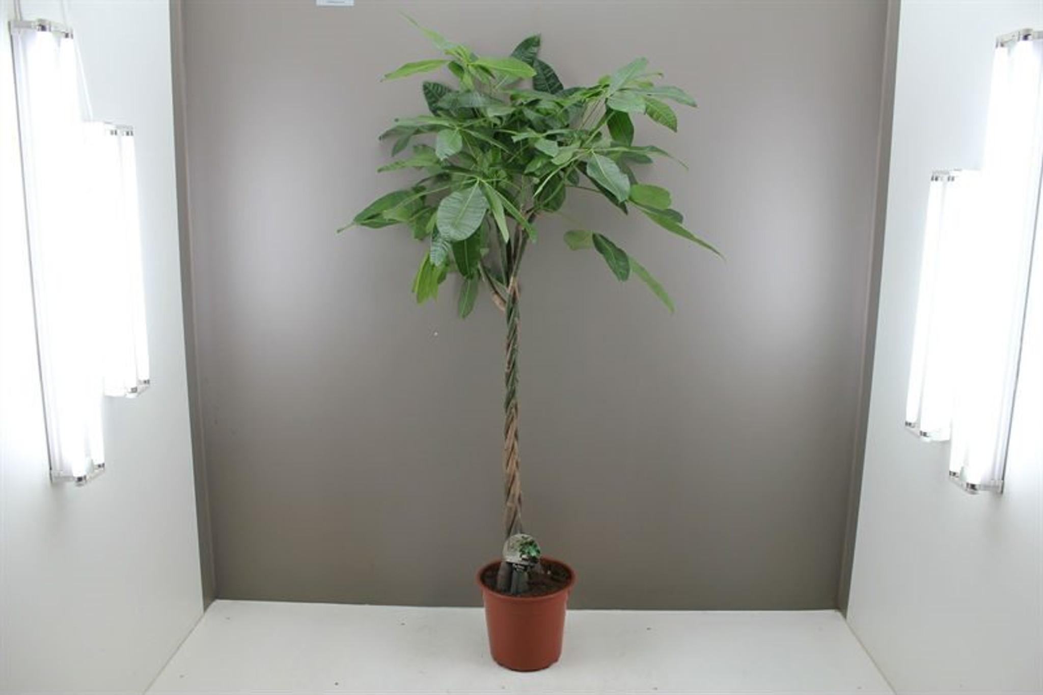 Large plaited money tree
