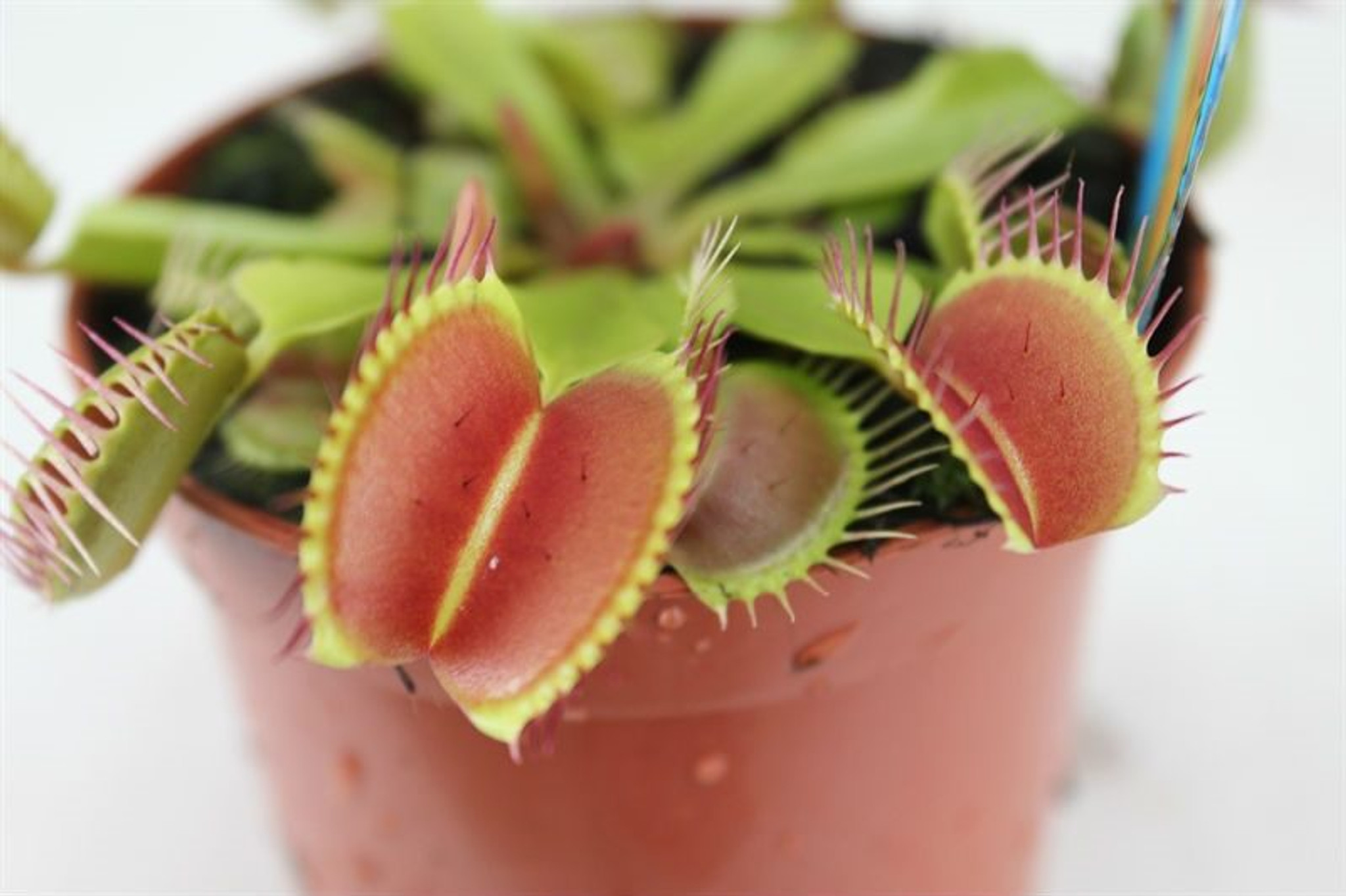 Venus Flytrap leaves