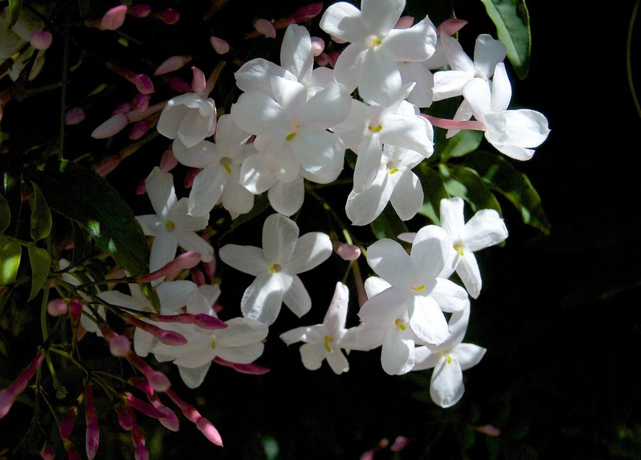 Many flowering Jasmine