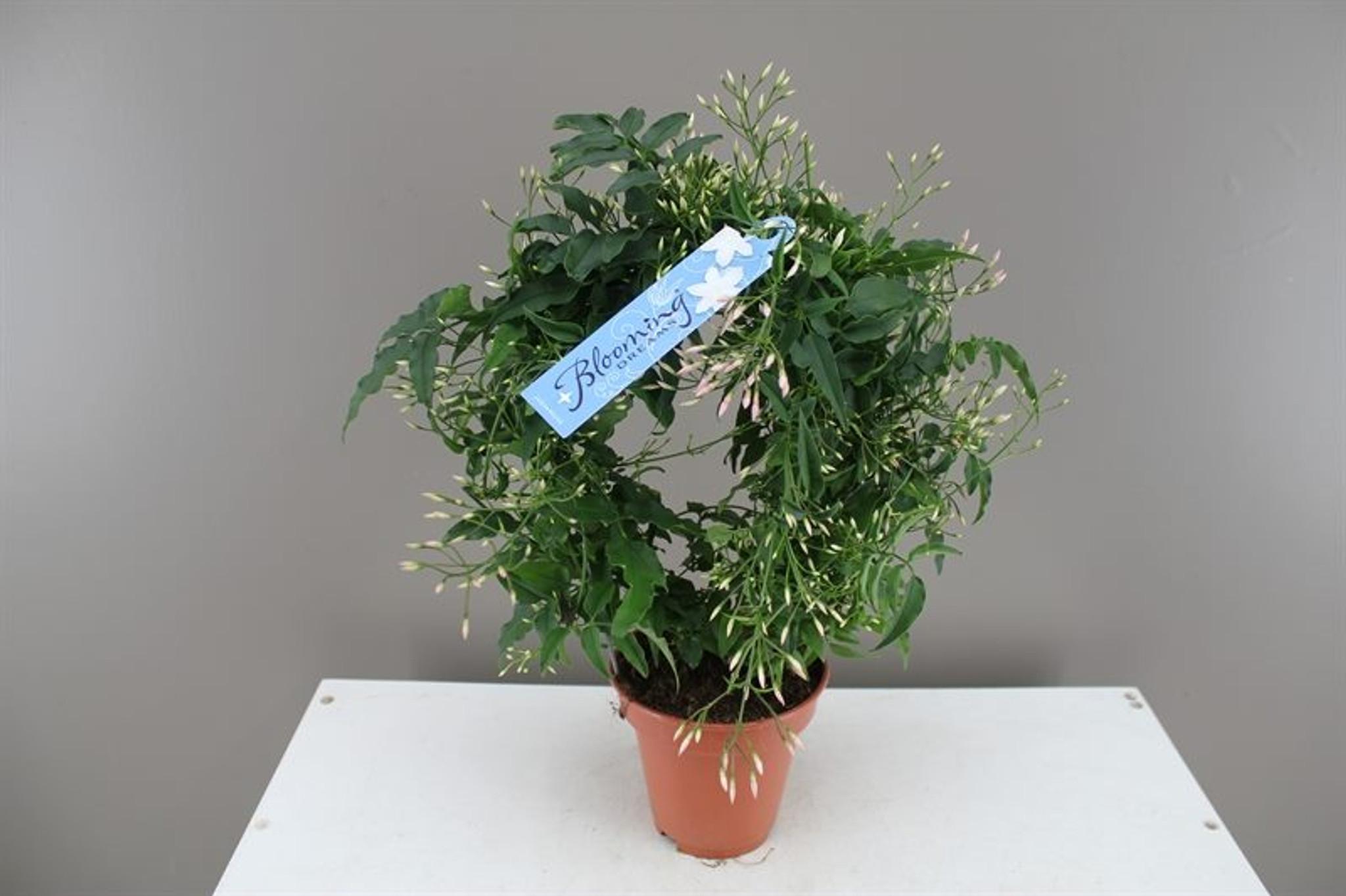 Jasmine Gift Flowers