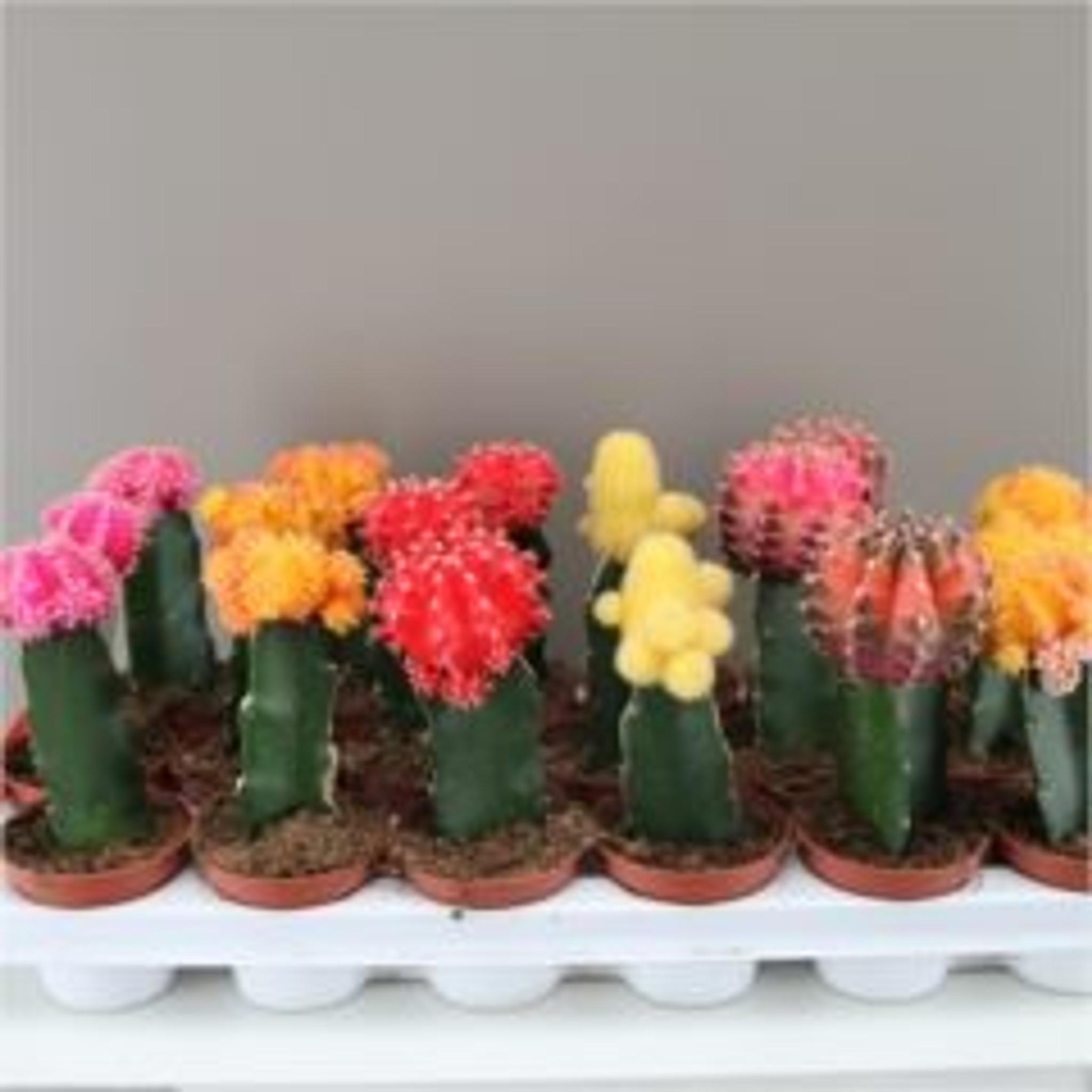 Large Rainbow Chin Cactus