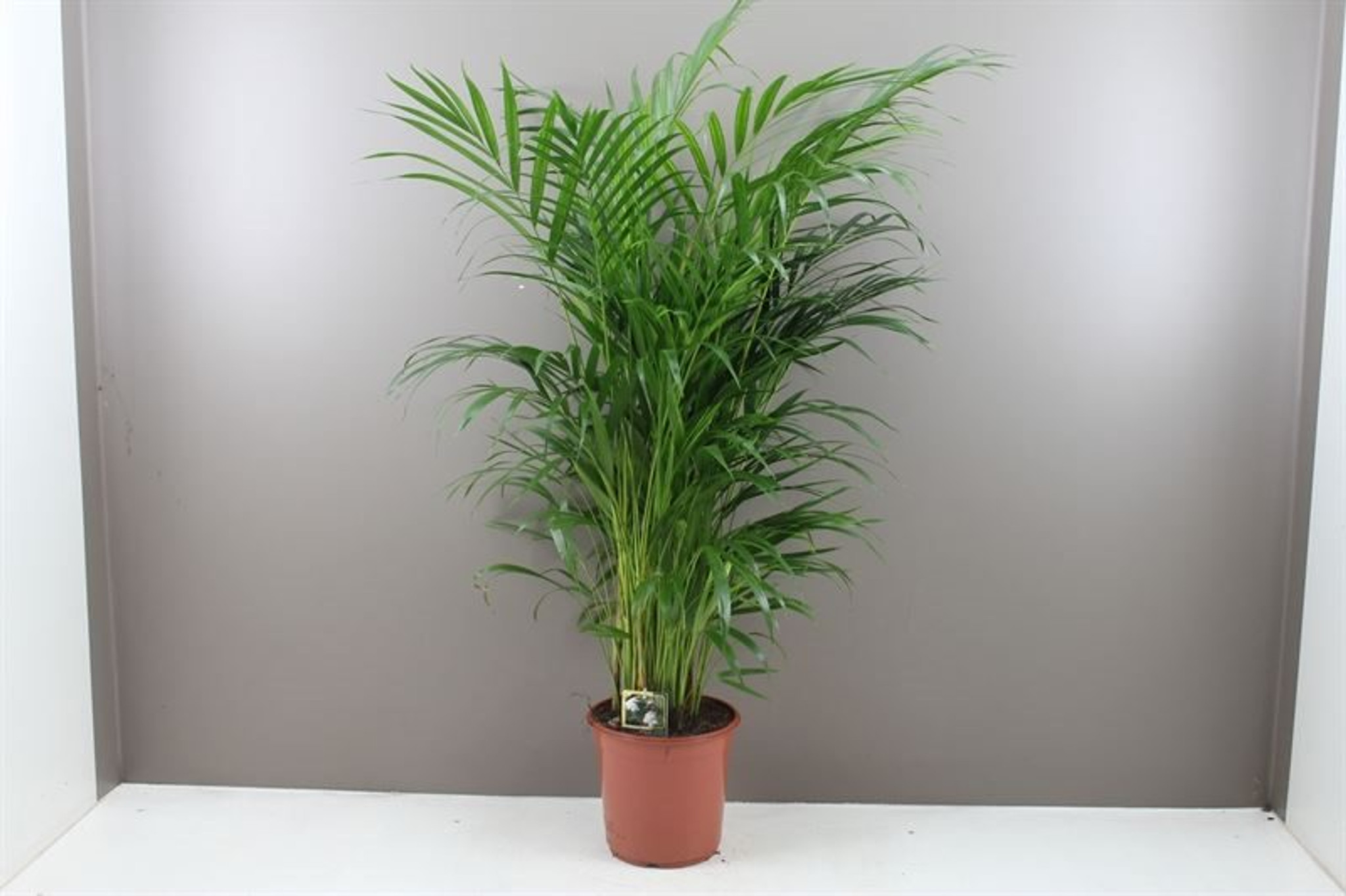 Areca Dypsis lutescens, Chrysalidocarpus lutescens, butterfly palm, bamboo palm, golden cane palm, dypsis genus, Arecaeae, large indoor palms, green indoor plants, office palm, air cleaning