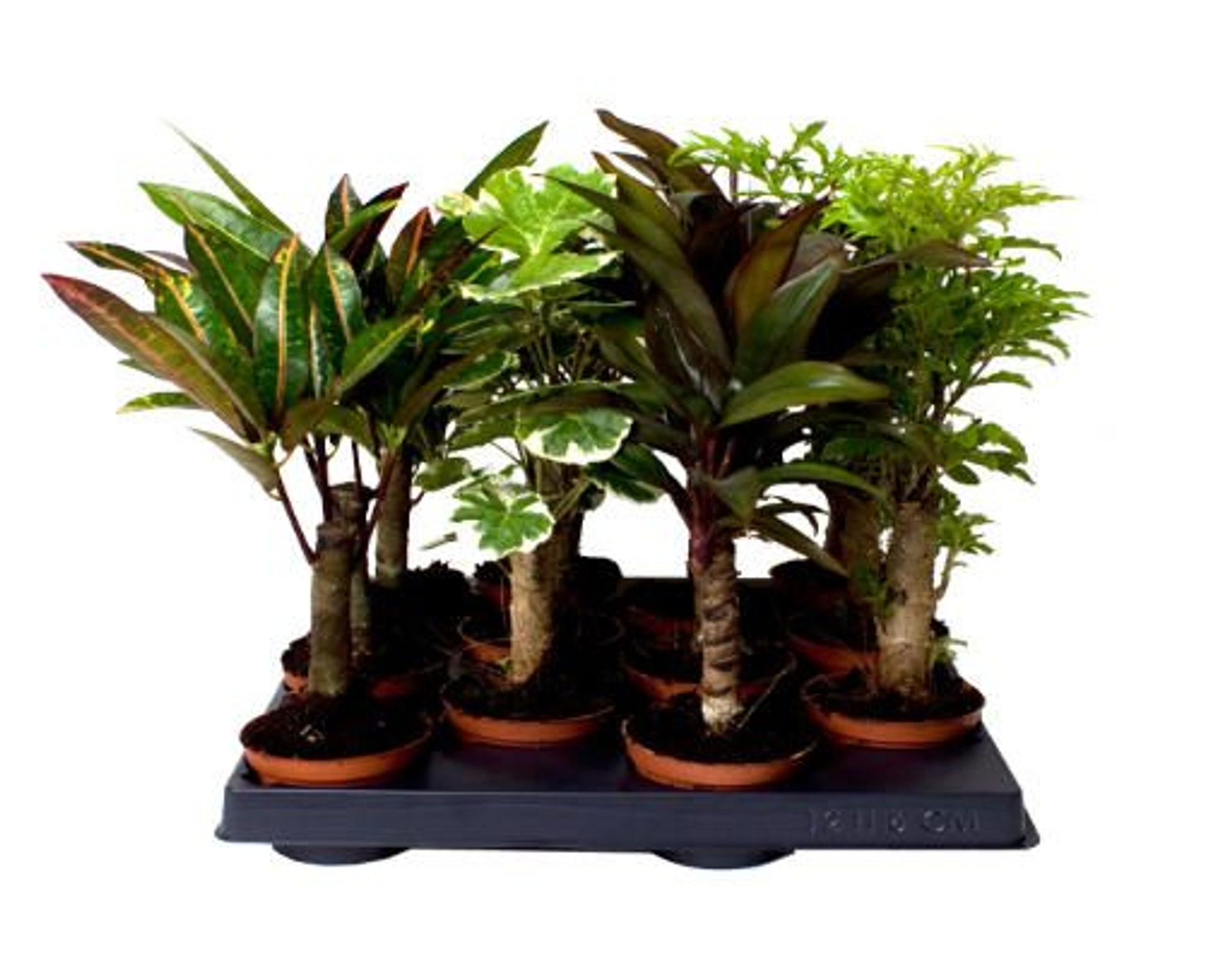 Stem mix- Great mix of long-stemmed indoor plants for your home or office- Add a touch of the outdoors to your home- Easy to care for indoor plants