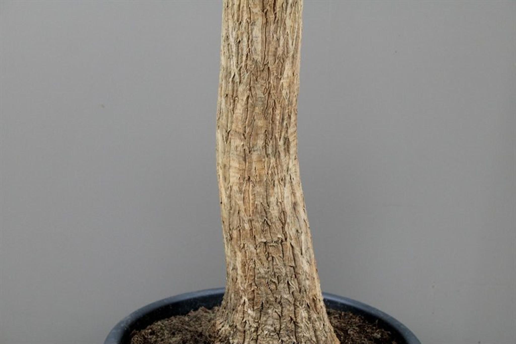 Beaucarnea stem 120 cm