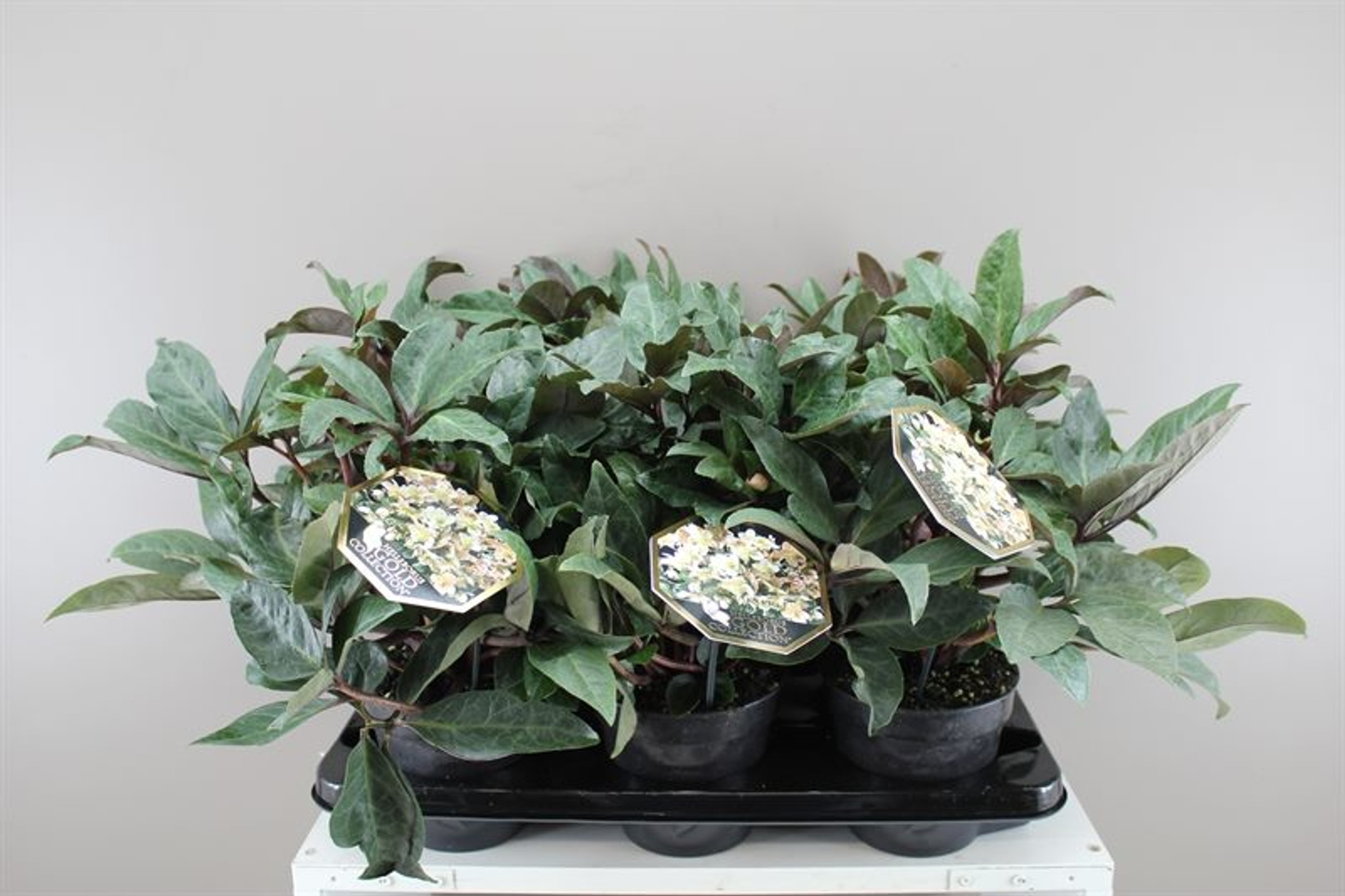 Deluxe Helleborus HGC Maestro - Flowering plant - Lovely gift - Ideal for any occasion - Christmas rose - 35cm