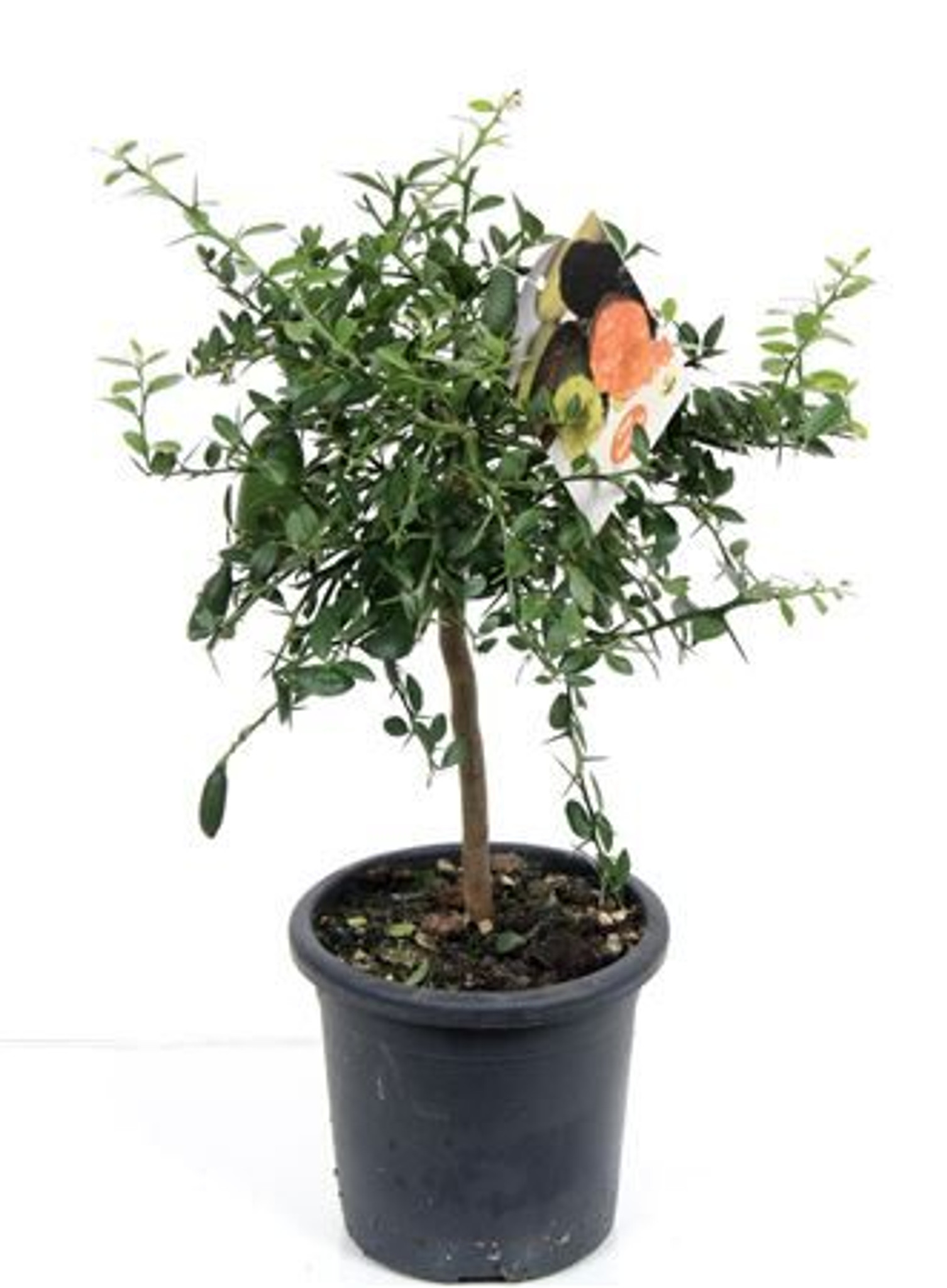 Citrus Lime 'Finger' Tree – Unique Caviar Limes Delightfully Decorative Quaint Feature for your Home
