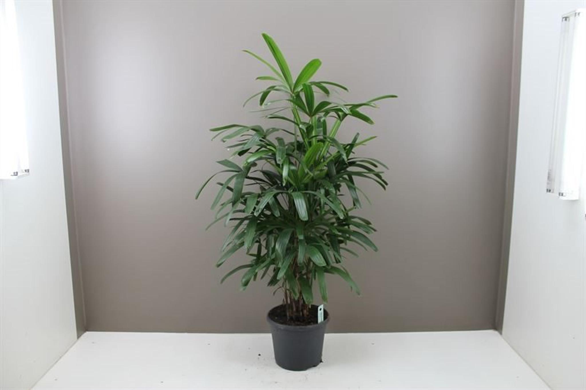 """Indoor Lady Palm  """" Rhapis Excelsa """" 85cm pot 17"""