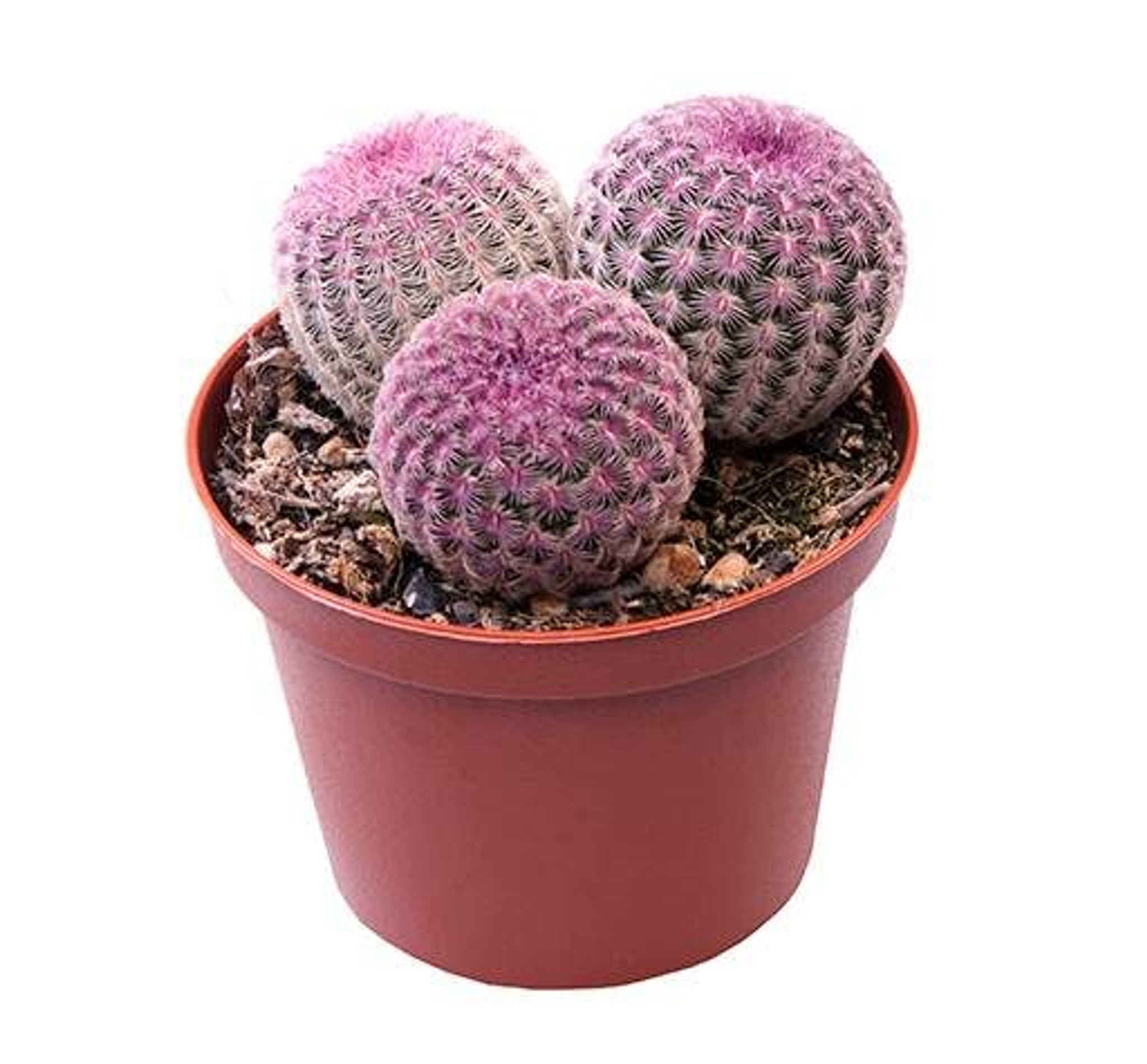 3 in 1 Lace Cactus