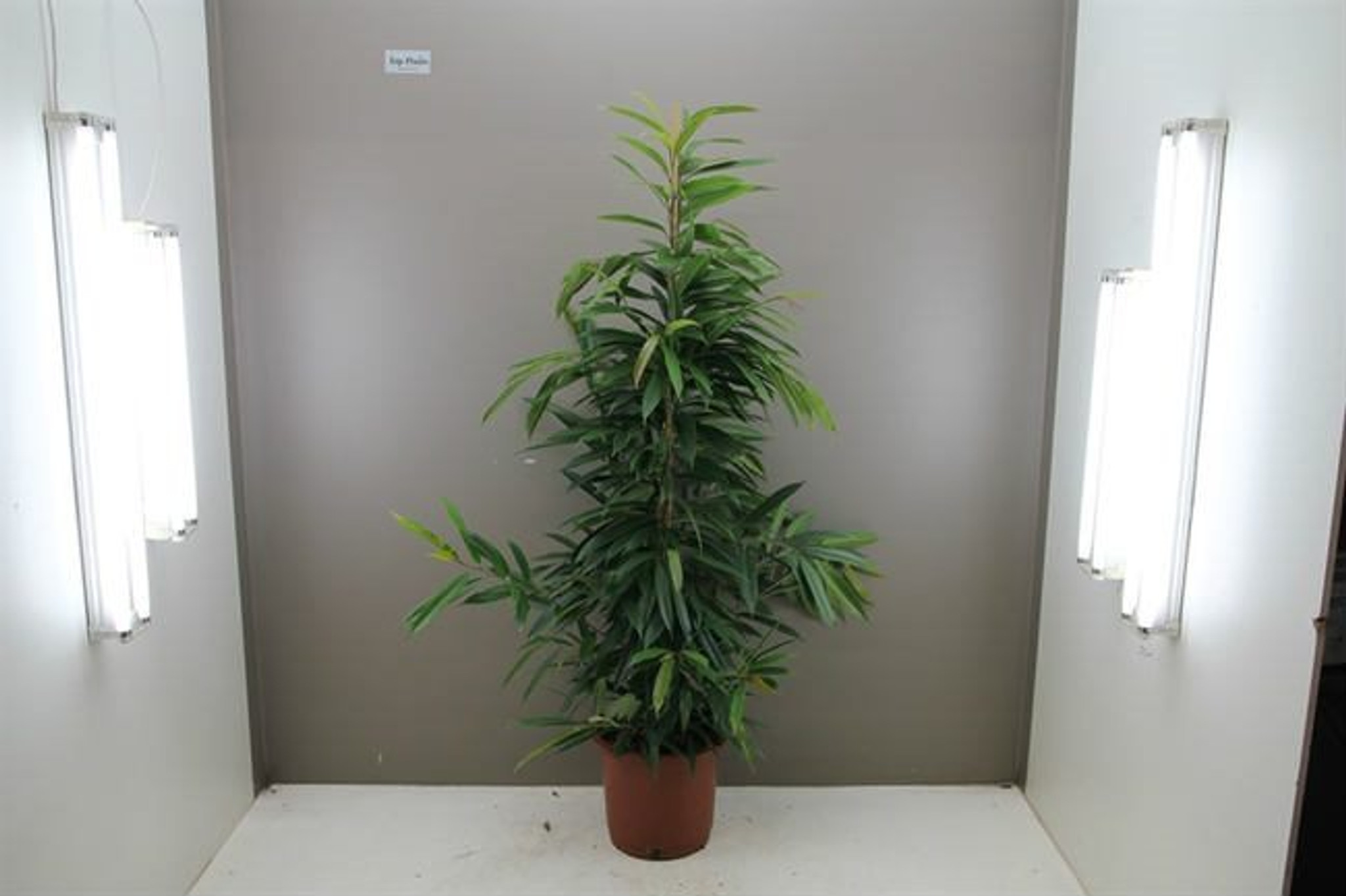 Large Amstel King tree