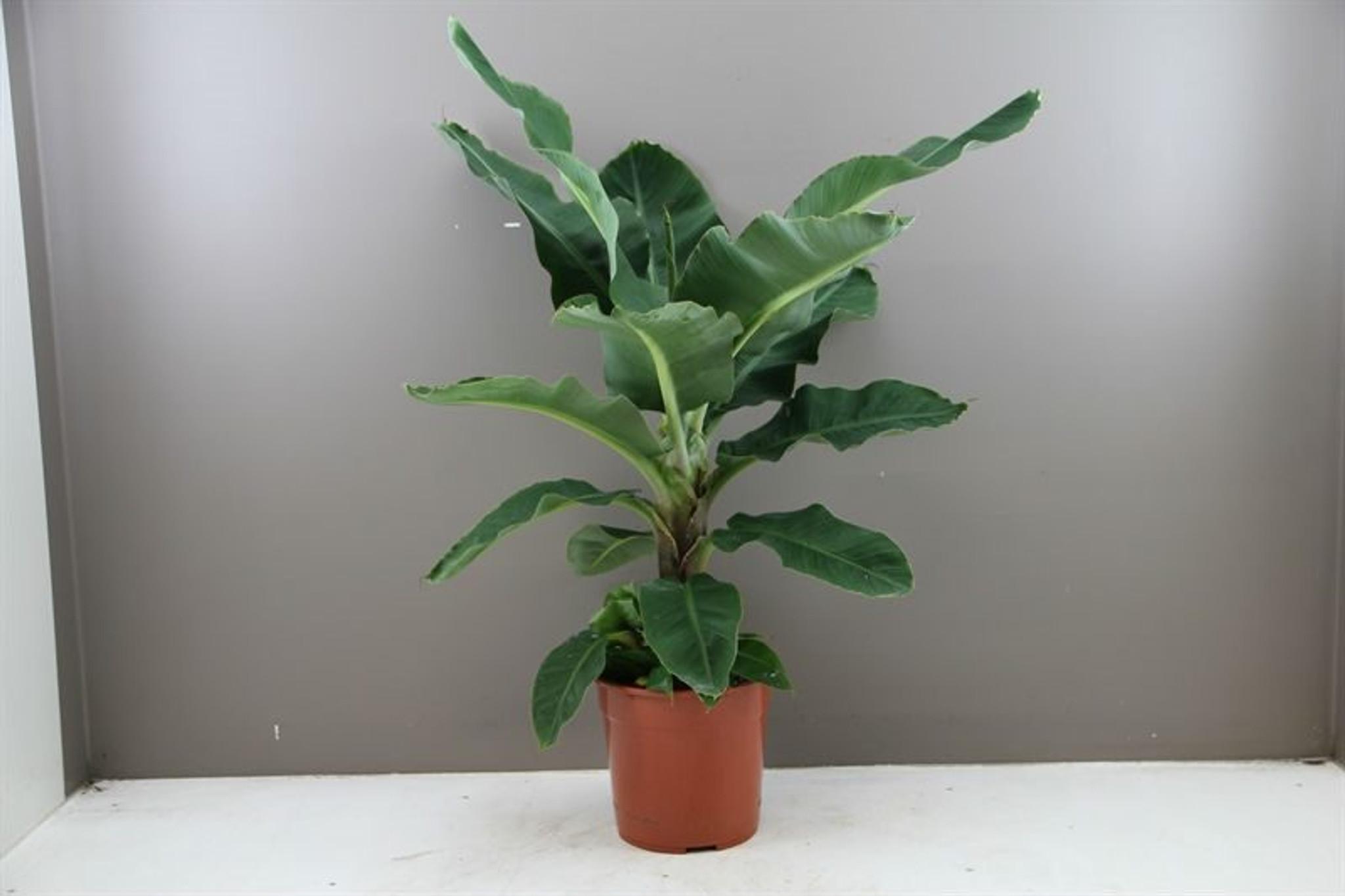 Large banana tree